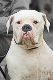 Funny portrait of American Bulldog Royalty Free Stock Images