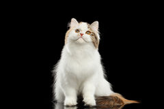 Funny Portrait Angry Scottish Highland Straight Cat, Isolated Black Background Stock Photos