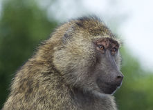 Funny portrait of a baboon Stock Image