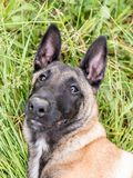 Funny portrait of a Belgian shepherd dog, malinois, lying at a g royalty free stock photography