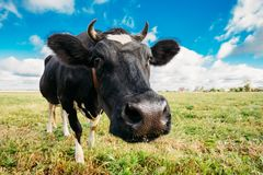 Close Up Of Cow In Meadow Or Field With Green Grass In Mouth. Stock Photo