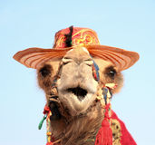 Funny portrait of camel with hat. Close up image Royalty Free Stock Image