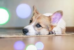 Funny portrait of cute little red puppy dog Corgi lying on the floor and dreaming against shiny circles. Portrait of cute little red puppy dog Corgi lying on the royalty free stock image