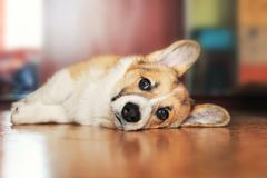 Funny portrait of cute little red puppy dog Corgi lying on the floor and looking dreamy and with sad eyes forward stock photo