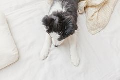 Funny portrait of cute smilling puppy dog border collie in bed at home. Funny portrait of cute smilling puppy dog border collie lay on pillow blanket in bed. New stock photos