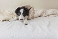 Funny portrait of cute smilling puppy dog border collie in bed at home. Funny portrait of cute smilling puppy dog border collie lay on pillow blanket in bed. New stock image