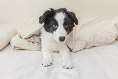 Funny portrait of cute smilling puppy dog border collie in bed at home. Funny portrait of cute smilling puppy dog border collie lay on pillow blanket in bed. New royalty free stock photos