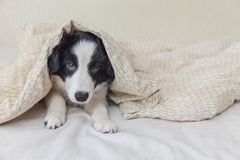 Funny portrait of cute smilling puppy dog border collie in bed at home. Funny portrait of cute smilling puppy dog border collie lay on pillow blanket in bed. New royalty free stock image