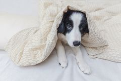 Funny portrait of cute smilling puppy dog border collie in bed at home. Funny portrait of cute smilling puppy dog border collie lay on pillow blanket in bed. New royalty free stock photo