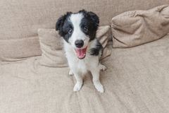 Funny portrait of cute smilling puppy dog border collie on couch at home. Pet care and animals concept. Funny portrait of cute smilling puppy dog border collie royalty free stock photos