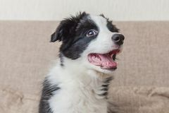 Funny portrait of cute smilling puppy dog border collie on couch at home. Pet care and animals concept. Funny portrait of cute smilling puppy dog border collie stock photography