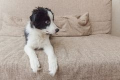 Funny portrait of cute smilling puppy dog border collie on couch at home. Pet care and animals concept. Funny portrait of cute smilling puppy dog border collie royalty free stock photography