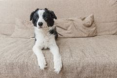 Funny portrait of cute smilling puppy dog border collie on couch at home. Pet care and animals concept. Funny portrait of cute smilling puppy dog border collie stock image