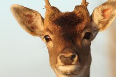 Funny portrait of deer buck Royalty Free Stock Image