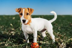 Funny portrait of a dog puppy breed jack russell terrier, plays in a ball on a green meadow against a blue sky background.  royalty free stock photos