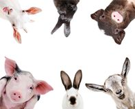 Funny portrait of a farm animals. Isolated on white background royalty free stock photo