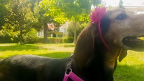 Funny portrait of a female hunt dog wearing a rigid band with a flower. stock footage