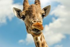 Funny portrait giraffe against blue sky clouds. Funny portrait giraffe against blue sky with clouds Stock Photos