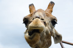 Funny portrait of a Giraffe. Close up Stock Photography