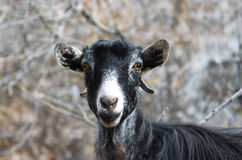 Funny portrait of a goat Stock Images
