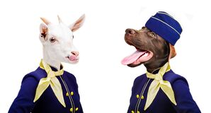 Funny portrait of a goat and dog in stewardess costumes