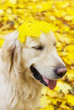 Funny portrait of golden labrador retriever in autumn park Royalty Free Stock Image