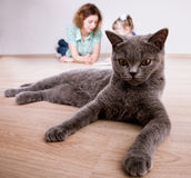 Funny portrait of a gray cat Royalty Free Stock Images