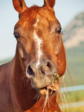 Funny portrait of grazing sorrel horse. Outdoor stock photography