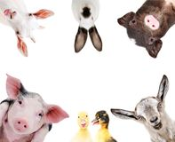 Funny portrait of a group of farm animals. Isolated on a white background Royalty Free Stock Photography