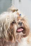 Funny portrait of a hairy shi tzu puppy Royalty Free Stock Images