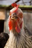 Funny portrait of hen Royalty Free Stock Photography