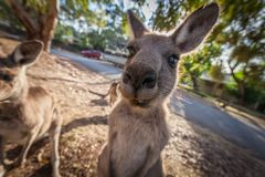 Funny portrait of Kangaroo. Funny portrait of Kangaroo staring right into the camera Royalty Free Stock Photography