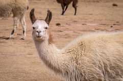 Funny portrait of Lama Alpaca in altiplano. Funny portrait of Lama Alpaca in the altiplano. Lamas and alpacas are very popular in Bolivia and Peru for their wool Royalty Free Stock Photo