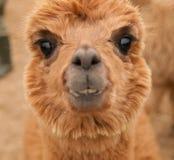 Funny portrait of lama guanaco Royalty Free Stock Image