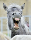 Funny portrait of a laughing horse. Stock Image