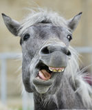 Funny portrait of a laughing horse. Camargue horse yawning, looking like he is laughing Stock Photo