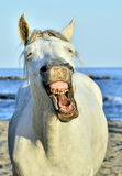 Funny portrait of a laughing horse. Royalty Free Stock Photos