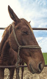 Funny portrait od brown mare horse in paddock Stock Image