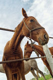 Funny portrait od brown mare horse in paddock Stock Images