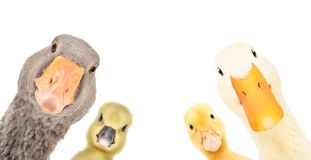 Free Funny Portrait Of A Goose, Gosling, Duckling, Duck Stock Photos - 167315573