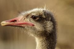Funny portrait of an ostrich royalty free stock photography