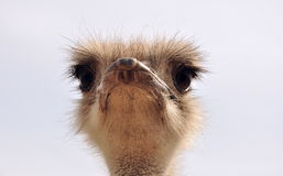 Funny portrait of ostrich Stock Image