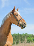 Funny portrait of palomino horse Stock Image