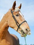 Funny portrait of palomino horse. Portrait of palomino horse at blue sky background Stock Image