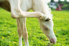 Funny portrait of pony foal Stock Photography