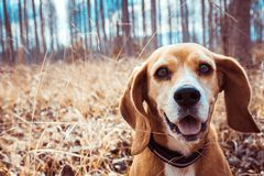 Portrait of pure breed beagle dog. Beagle close up face smiling. Happy dog. Funny portrait of pure breed beagle dog. Big ears listening or hear concept. Beagle stock photos