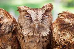 Funny portrait of sleepy baby owl Royalty Free Stock Image