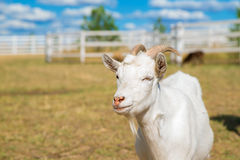 Funny portrait of a smiling goat with a blue sky in the backgrou Royalty Free Stock Images