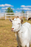 Funny portrait of a smiling goat with a blue sky in the backgrou Stock Photography