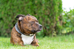Funny portrait of staffordshire bull terrier with closed eyes on Royalty Free Stock Images